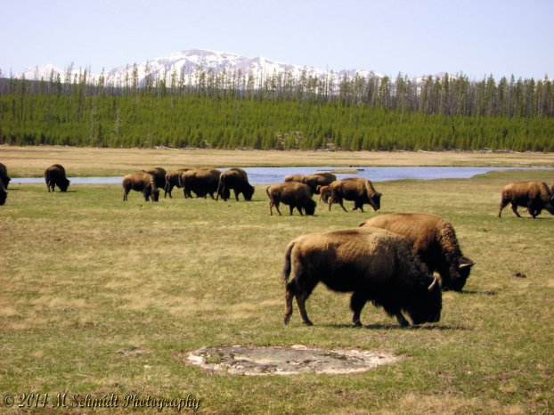 bison_yellowstone_national_park_wyoming_2_by_mschmidtphotography-d743thx