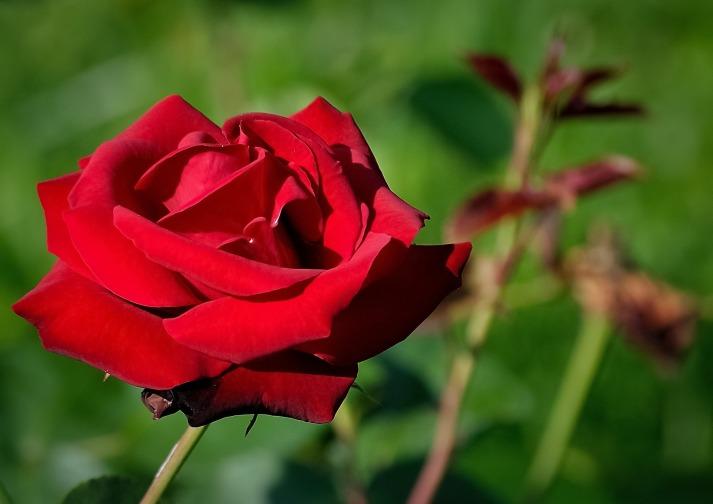 rose-411780_1920