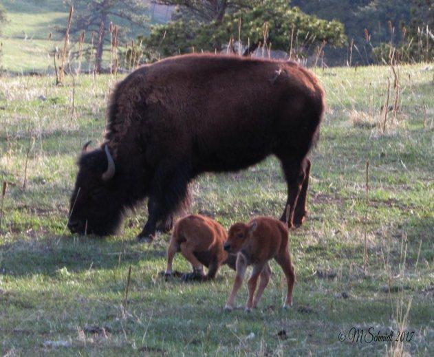 bison_two_calves_28april2017_by_mschmidtdesigns-db7od3d